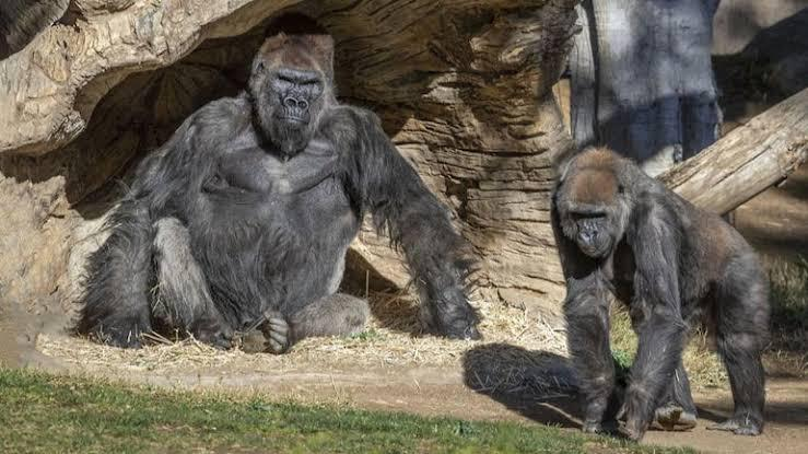 Eight Gorillas Test Coronavirus Positive at San Diego Park in US